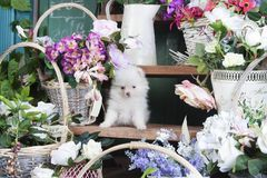白色小狗Pomeranian坐一个木架子 库存图片