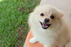 白色小狗pomeranian狗逗人喜爱的宠物微笑 库存图片
