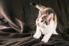 白色小猫画象与黑和红色斑点的在棕色地毯 图库摄影
