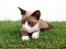 白色小猫看看某事 免版税库存图片