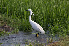 白色小白鹭在农场 免版税库存照片