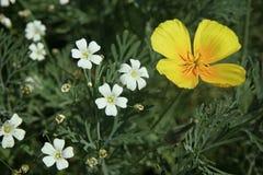 白色小的花和一朵黄色花在花圃关闭 免版税图库摄影