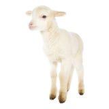 白色小羊羔 免版税库存照片