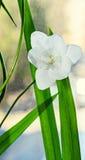 白色小苍兰花,窗口背景,绿色植物关闭 库存照片