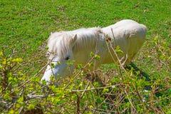 白色小马在一个草甸在春天 免版税库存图片