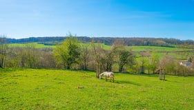 白色小马在一个草甸在春天 库存图片