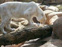 白色山猫 库存图片