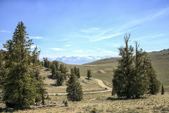白色山看法从古老Bristlecone杉树,加利福尼亚的 免版税库存照片