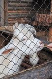 白色山羊关在监牢里在动物园里 免版税库存照片