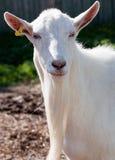 白色山羊口鼻部 库存图片
