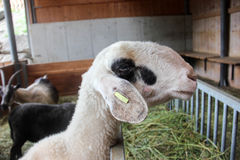 白色山羊在农场 免版税库存图片