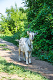 白色山羊在小径站立 免版税库存照片