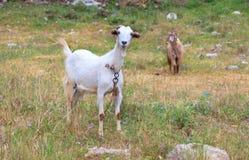 白色山羊在有花的一个绿色草甸吃草 免版税库存照片