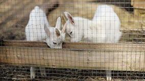 白色山羊在篱芭之外吃食物户外 股票视频