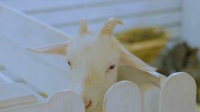 白色山羊在联络动物园里 股票录像