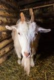 白色山羊在谷仓 库存照片