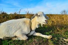 白色山羊本质上广角在牧场地反对天空蔚蓝 免版税库存照片
