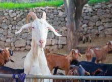 白色山羊狩猎食物 免版税库存图片