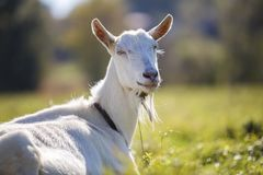 白色山羊画象与胡子的在被弄脏的bokeh背景 种田有用的动物概念 免版税库存照片