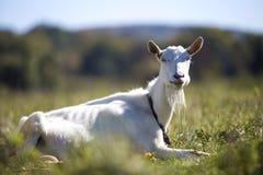 白色山羊画象与胡子的在被弄脏的bokeh背景 种田有用的动物概念 图库摄影