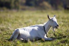 白色山羊画象与胡子的在被弄脏的bokeh背景 种田有用的动物概念 免版税库存图片