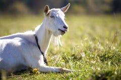 白色山羊画象与胡子的在被弄脏的bokeh背景 种田有用的动物概念 库存照片