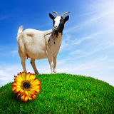 白色山羊 图库摄影