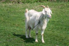 白色山羊 免版税库存图片