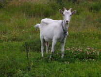 白色山羊 库存照片