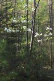 白色山茱萸绽放 免版税库存图片