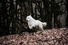 白色巡逻狗Maremma或Abrujie在黑暗的森林里跑 免版税库存照片