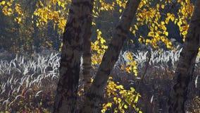 白色干草芽在桦树树丛里 影视素材