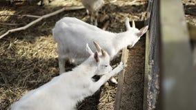 白色幼小山羊在农场吃户外 影视素材