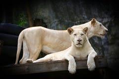 白色幼狮夫妇  免版税库存照片