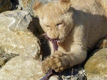 白色幼狮-晚餐时间 库存图片