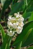 白色庭院或荷兰风信花 免版税库存照片