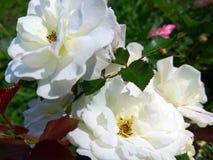 白色庭院玫瑰照片 库存图片