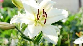 白色庭院百合绽放在夏天在庭院里 影视素材