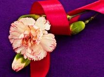 白色康乃馨和桃红色丝带 图库摄影