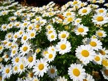 白色延命菊雏菊的领域在太阳亮光的 免版税库存照片