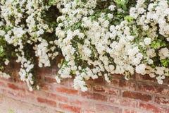 白色开花和红砖墙壁 免版税库存图片