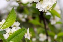 白色开花在春天 库存图片