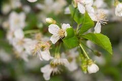 白色开花在春天 免版税库存照片