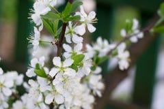 白色开花在春天 图库摄影