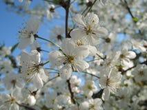 白色开花在春天 免版税图库摄影