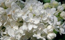 白色开花的丁香接近  下雨 免版税库存图片