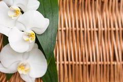 白色开花的兰花 复制空间 免版税库存照片