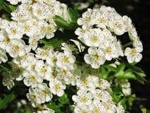 白色开花的山楂树在夏天,立陶宛 免版税库存图片