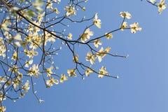 白色开花的山茱萸树(萸肉佛罗里达)在蓝天的绽放 免版税库存图片