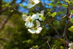 白色开花的山茱萸树(萸肉佛罗里达)在绽放 免版税图库摄影